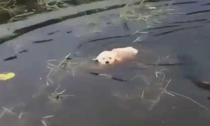 Do You Teach Puppies To Swim Like This Netizens Likes-TeluguStop.com