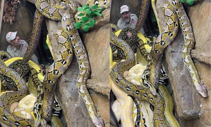 Viral Video A Man Stuck In The Middle Of The Pythons-TeluguStop.com