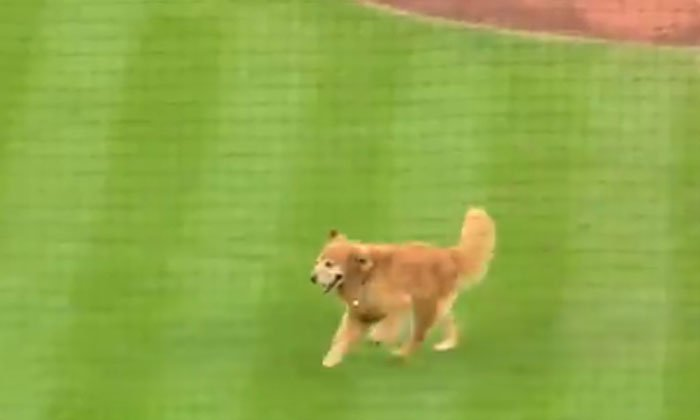 The Dog Who Gave A Sudden Entry Into A Baseball Match-TeluguStop.com