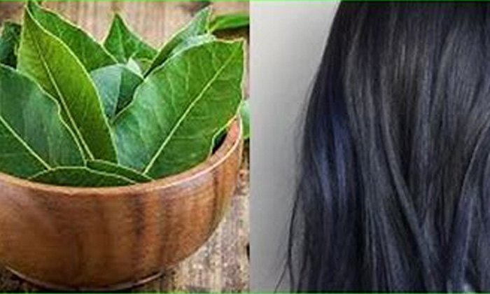 Bay Leaves Helps To Reduce Hair Fall Naturally-TeluguStop.com
