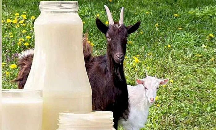 Goat Milk Too Costly And Demand One Litre Cost-TeluguStop.com