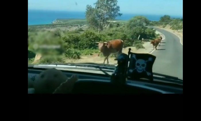 The Shock Given By This Cow To Drunkeras Is Not Normal-TeluguStop.com