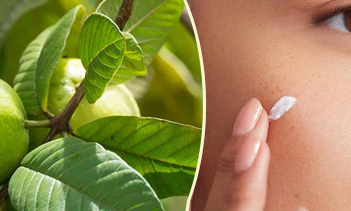 Guava Leaves Help To Get Rid Of Sun Tan Naturally-TeluguStop.com