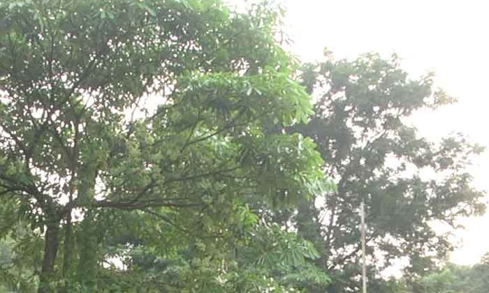 Do You Know About This Ghost Tree In Visakhapatnam-TeluguStop.com