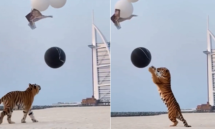 Netizens Angry Over Tiger Being Used For Gender Reveal In Dubai-TeluguStop.com