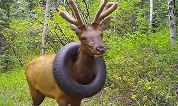 A Moose With A Tire Around Its Neck To The End-TeluguStop.com